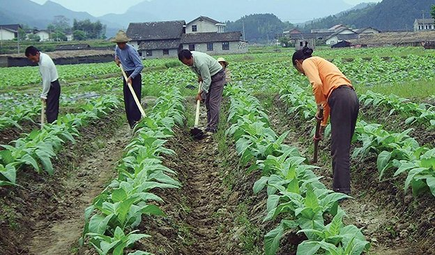 Tobacco-farming-of-Hunan-Province-624.jpg