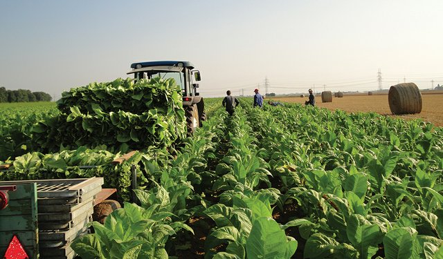 German and French Tobacco Growers in Crisis?