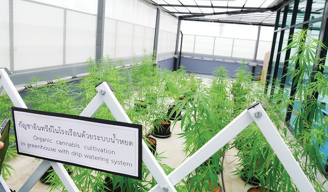 Thailand's Cannabis Drive is No Free-For-All Bonanza