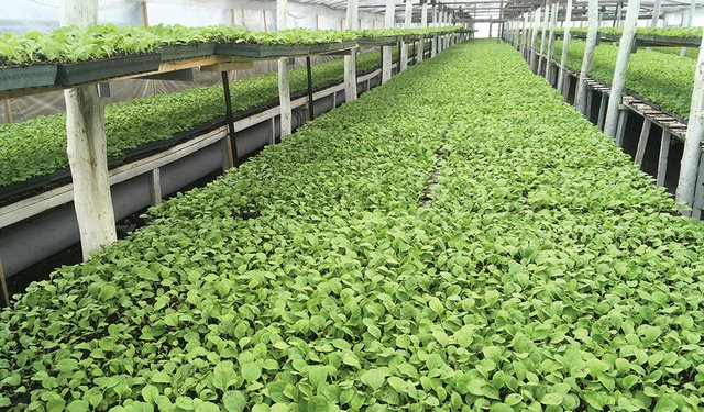 Eastern Europe Beckoning: Independent Leaf Suppliers