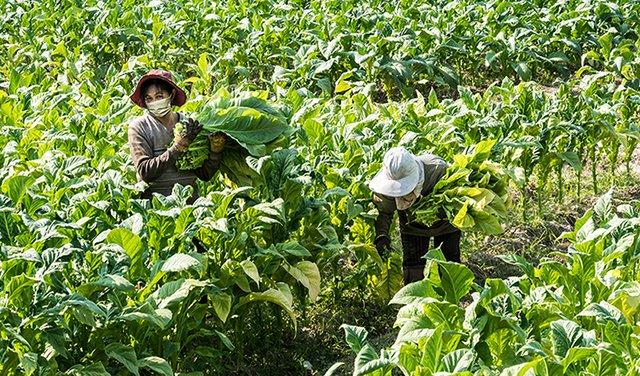 Covid-19 and the Global 2020 Tobacco Leaf Marketing Season