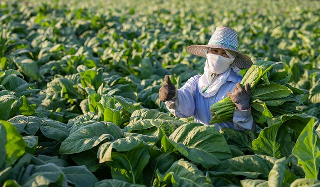 Covid-19 and the Global 2020 Tobacco Leaf Marketing Season