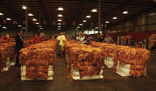 us-tobacco-season-624.jpg
