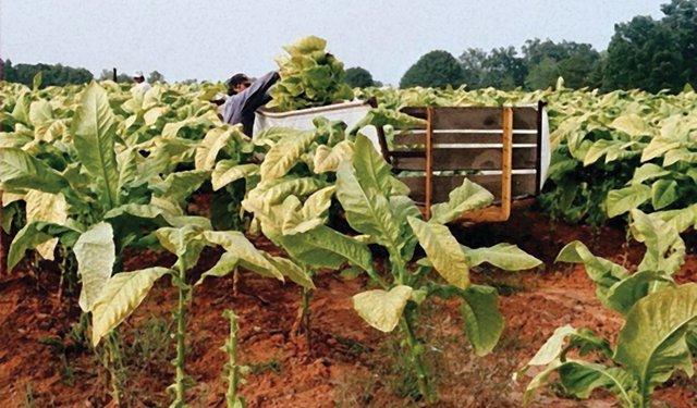 TA16i3-ASIA-Hand-harvest-lower-stalk-leaf.jpg