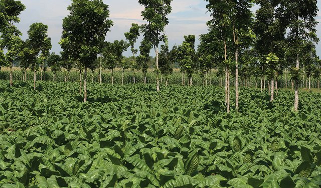 Sustainable Tobacco Farming