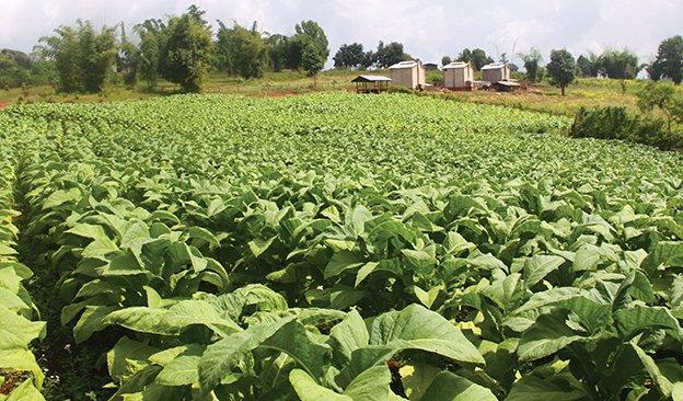 AOI-Myanmar-Tobacco-Field-624.jpg