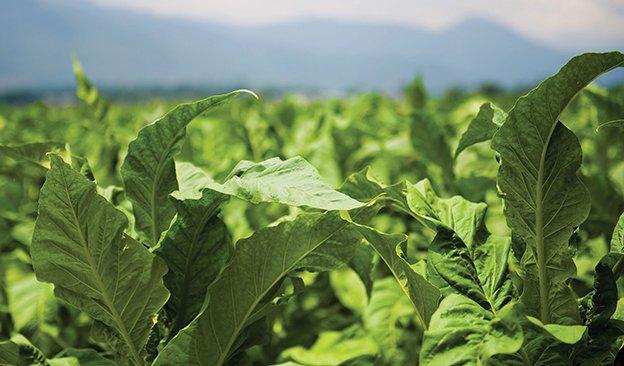 Flue-cured-tobacco-of-Yunnan-Province-624.jpg